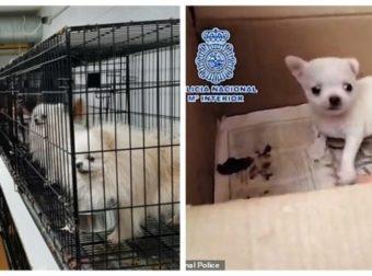 Συνέλαβαν παράνομους εκτροφείς που είχαν κόψει τις φωνητικές χορδές των σκύλων για να μην ακούγονται