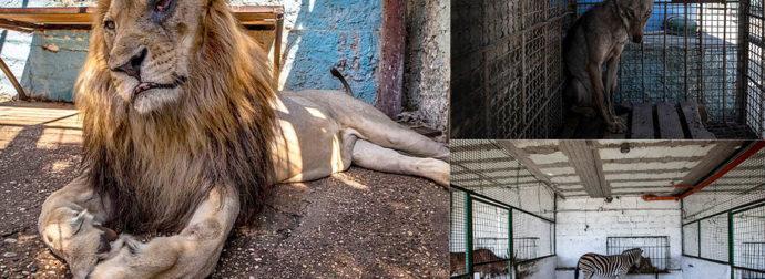 Λιοντάρι με μολυσμένο μάτι αργοπεθαίνει σε ζωολογικό κήπο στην Αλβανία