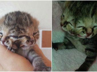 Γεννήθηκε γατάκι με δύο πρόσωπα, τρία μάτια, δύο μύτες και δύο στόματα