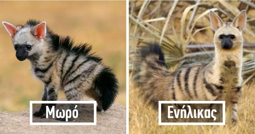 Το μικρό εντομοφάγο ζώο που είναι ένα από τα πιο αξιολάτρευτα του κόσμου