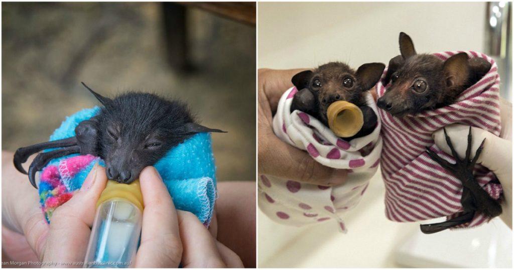 Γυναίκα σώζει μικρές νυχτερίδες και τις ταΐζει με μπιμπερό και μπανάνες