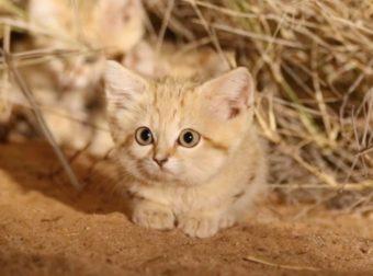 Μικρά αγριόγατας άμμου για πρώτη φορά σε βίντεο στο φυσικό τους περιβάλλον