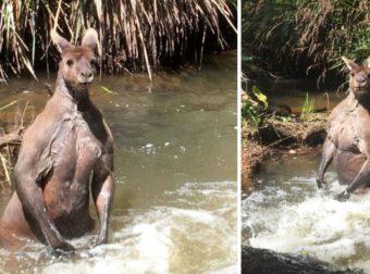 Φωτογράφος συνάντησε τεράστιο μυώδες καγκουρό να απολαμβάνει το μπάνιο του σε ποτάμι