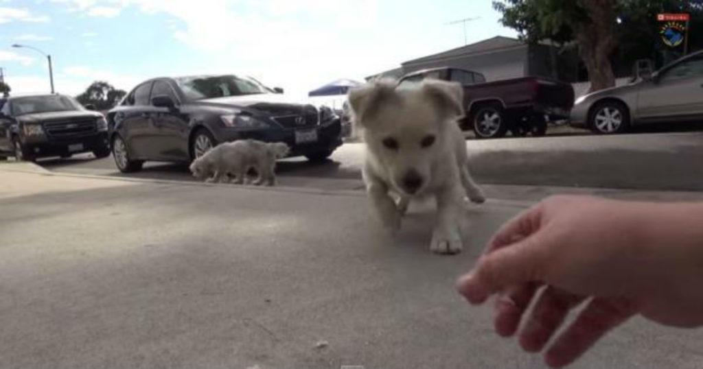 Αυτά τα δύο αχώριστα σκυλάκια τριγυρνούσαν αβοήθητα στους επικίνδυνους δρόμους του Λος Άντζελες. Δείτε λεπτό προς λεπτό την επιχείρηση διάσωσης τους…