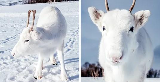 Φωτογράφος απαθανάτισε εξαιρετικά σπάνιο λευκό μωρό τάρανδο στη Νορβηγία.