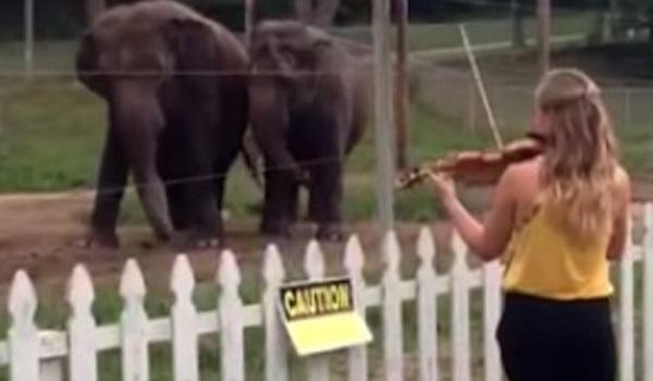 Άρχισε να παίζει βιολί μπροστά σε δύο ελέφαντες. Δεν περίμενε ποτέ την αντίδραση αυτή!