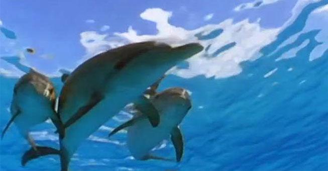 Εκπληκτικά πλάσματα! Δελφίνια προστατεύουν δύτη από καρχαρία!