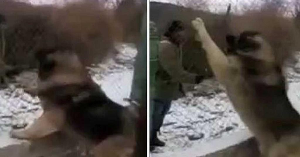 Ποιμενικός Καυκάσου: Ο μεγαλύτερος σκύλος του κόσμου! (βίντεο)