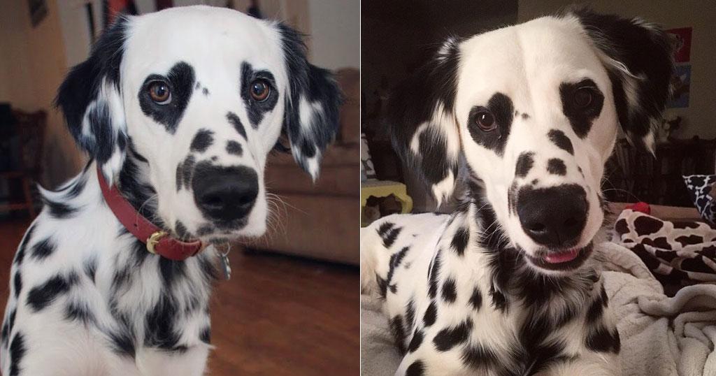 Σκύλος Δαλματίας με σπάνιο τρίχωμα έχει καρδιές γύρω από τα μάτια του