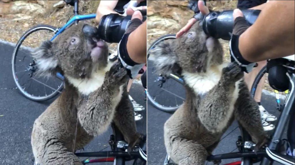Αυστραλία: Διψασμένο κοάλα ανάγκασε ποδηλάτες να σταμάτησαν και να του δώσουν νερό