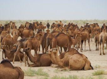 Αυστραλία: Θα θανατώσουν 10.000 καμήλες, πυροβολώντας τες από ελικόπτερα, επειδή πίνουν πολύ νερό