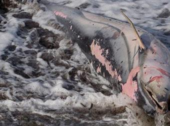 Σκόπελος: Νεκρά δελφίνια στις παραλίες λόγω των θυελλωδών ανέμων