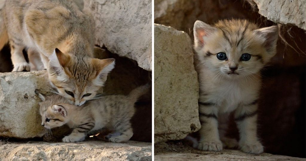 Αγριόγατες της Άμμου: Τα πανέμορφα πλάσματα κοιτούν για πρώτη φορά κατάματα την κάμερα στο φυσικό τους περιβάλλον