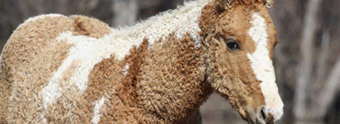 """Τα """"Σγουρά"""" Άλογα είναι τα πιο Όμορφα Πλάσματα στον Κόσμο κι όμως Ελάχιστοι Γνωρίζουν ότι Υπάρχουν στ'Αλήθεια!"""