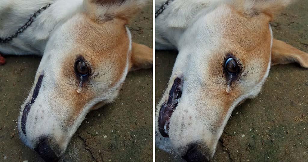 Σκύλος δακρύζει λίγο πριν πεθάνει όταν δηλητηριάστηκε από κλέφτες