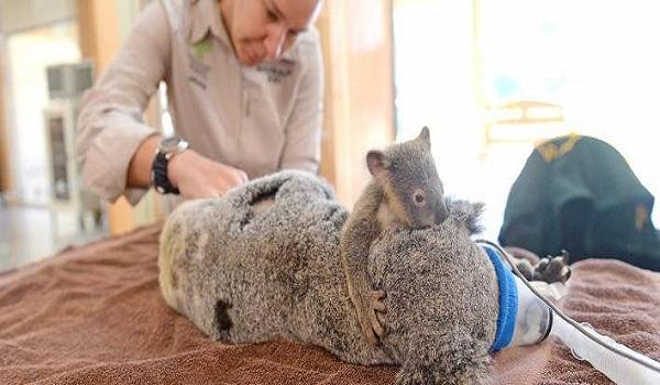 Συγκινητικό: Μωρό κοάλα κρατάει την τραυματισμένη μαμά του που κάνει εγχείρηση