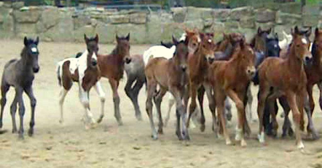 Αυτά τα 19 μικρά αλογάκια είναι επιτέλους ελεύθερα. Δείτε την αντίδρασή τους!