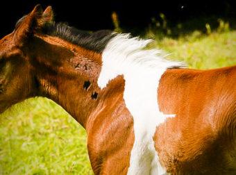 Ο Da Vinci το άλογο είναι μόλις λίγων μηνών, αλλά το μοναδικό του τρίχωμα τον έχει κάνει πασίγνωστο