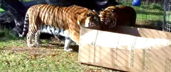 Υπάλληλος ζωολογικού κήπου αφήνει ένα κουτί δίπλα σε αυτές τις τίγρεις. Δείτε την αντίδρασή τους όταν το ανακάλυψαν!