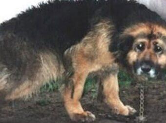 Γέρικος σκύλος, αλυσοδεμένος για 10 χρόνια, απευλεθερώνεται! [βίντεο]