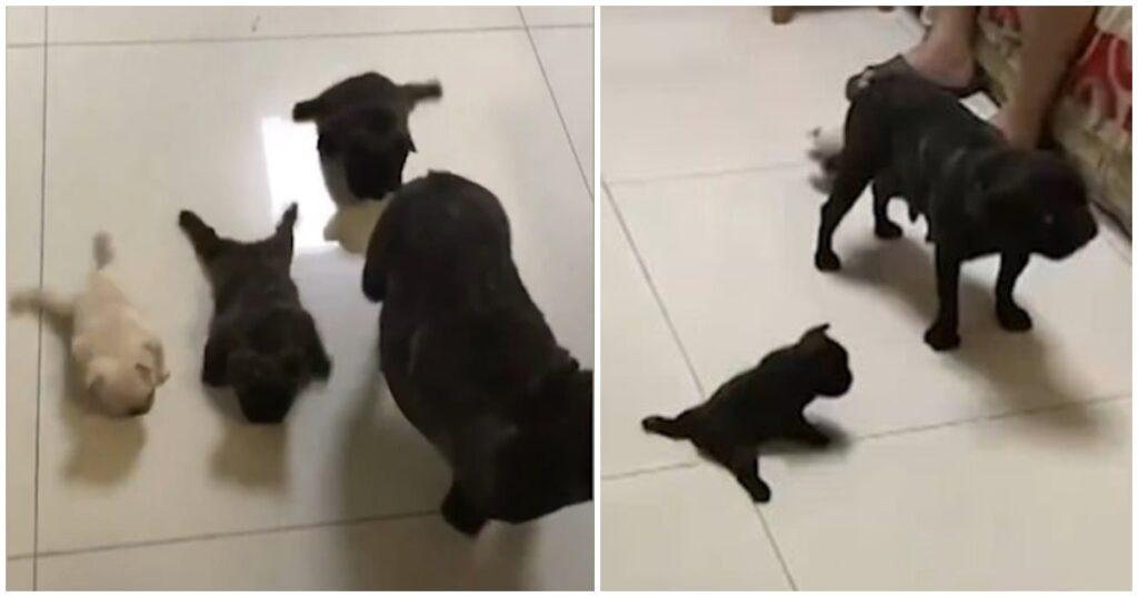 Μωρά μπουλντόγκ προσπαθούν να περπατήσουν για πρώτη φορά και αυτό είναι το ωραιότερο βίντεο της ημέρας