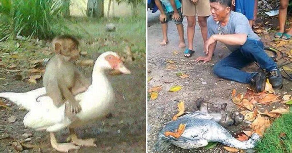 Πάπια ψήθηκε ζωντανή στην προσπάθειά της να σώσει μαϊμού που είχε πάθει ηλεκτροπληξία