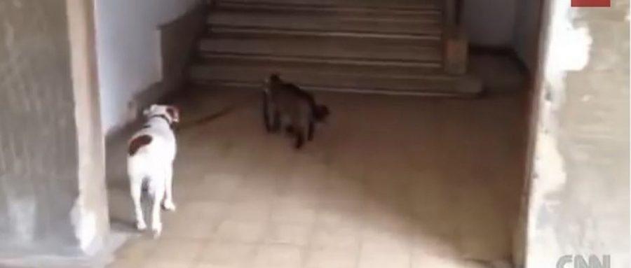 Η γάτα που βγάζει βόλτα το σκύλο της οικογένειας θα σας οδηγήσει να αναθεωρήσετε όλα όσα πιστεύατε μέχρι σήμερα