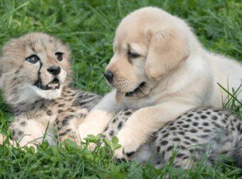Τσιτάχ είναι τόσο ντροπαλά που ζωολογικός κήπος τους έβαλε σκυλιά θεραπευτές
