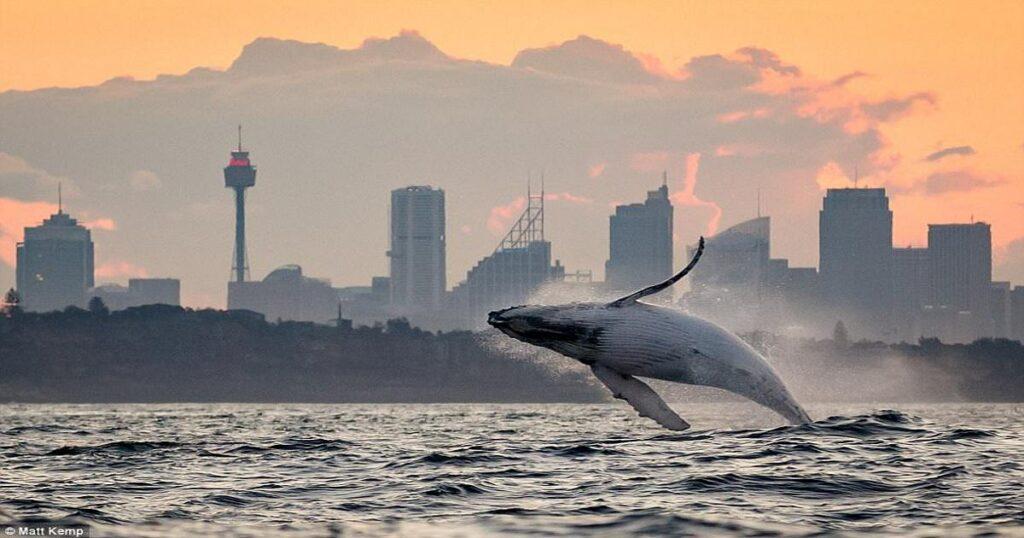 Φάλαινα ξεπηδάει από το νερό με φόντο το ηλιοβασίλεμα και το θέαμα είναι υπέροχο