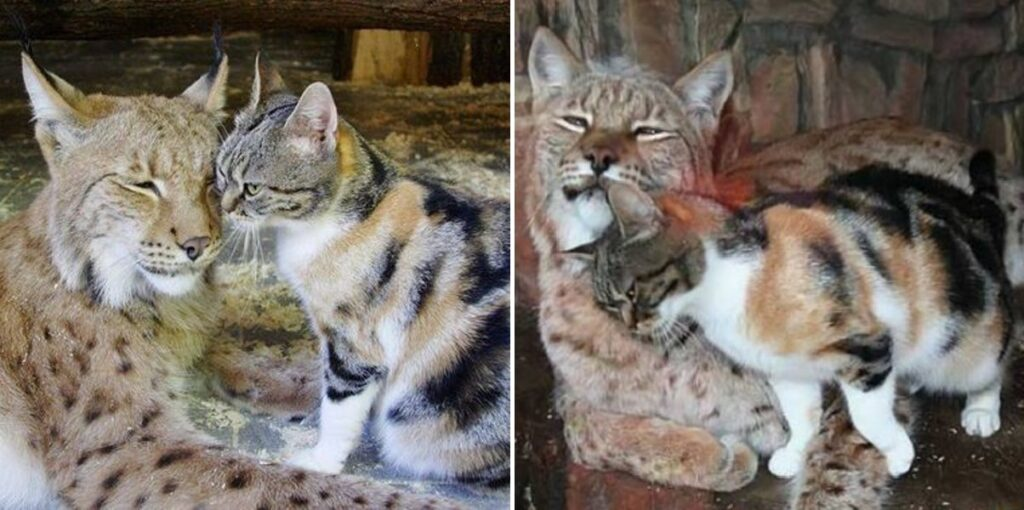 Γάτα έπεσε σε κλουβί άγριου λύγκα και η συνέχεια δεν είναι αυτή που περιμένετε