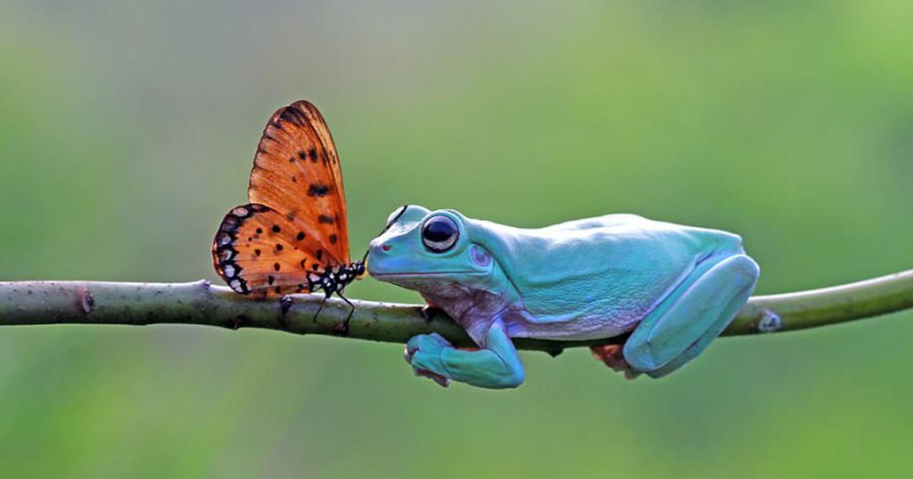 Πεταλούδα φιλάει βάτραχο πριν κάτσει στο κεφάλι του για να ξεκουραστεί