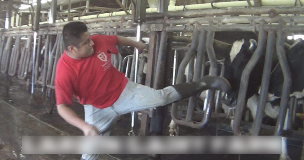 Εργάτες της βιομηχανίας γάλακτος κλωτσάνε, μαχαιρώνουν και βασανίζουν αγελάδες σε ένα βίντεο που μας έκανε και αισθανθήκαμε ντροπή