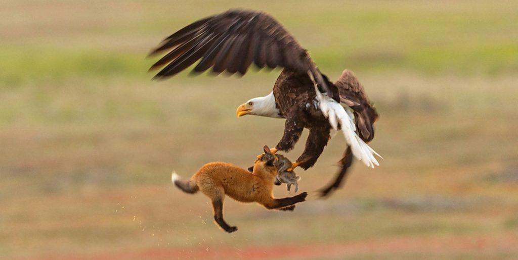 Aλεπού και αετός σε μια επική μονομαχία στον αέρα για έναν λαγό