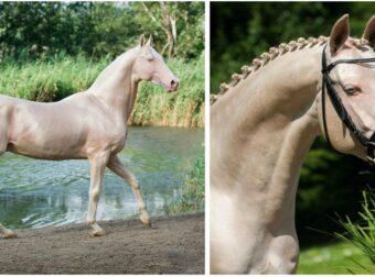 Αυτό το άλογο μοιάζει να το έχουν βυθίσει σε χρυσάφι και είναι γνωστό ως «το ωραιότερο άλογο στον κόσμο»
