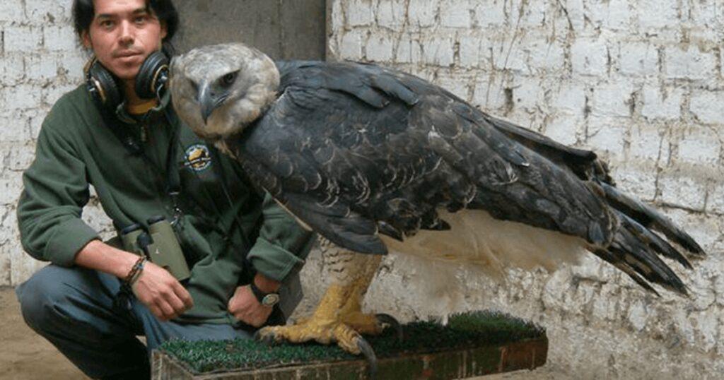 Η αγέρωχη άρπυια ένας από τους ισχυρότερους αετούς