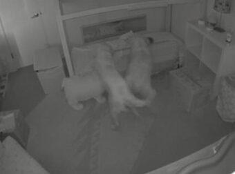 Η αξιολάτρευτη στιγμή που 2 Γκόλντεν Ριτρίβερ πάνε ένα μωρό για νυχτερινές περιπέτειες