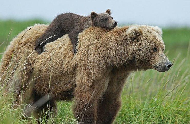 Μαμάδες αρκούδες φωτογραφίζονται μαζί με τα απίστευτα χαριτωμένα μικρά τους. Πανέμορφες εικόνες!