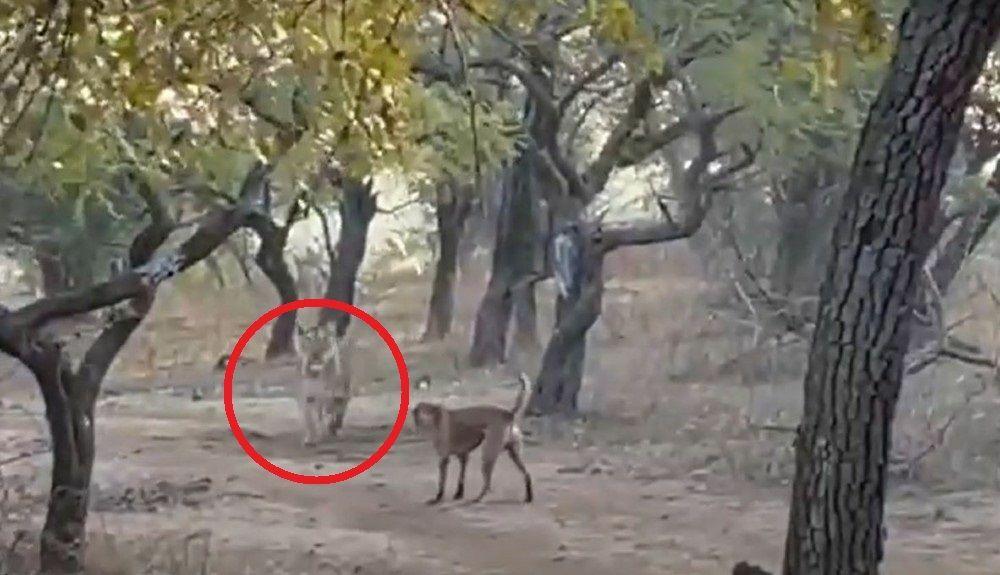 Γενναίος σκύλος πήρε λιοντάρι στο κυνήγι: Αδέσποτο τα έβαλε με τρομερή λέαινα – Βίντεο