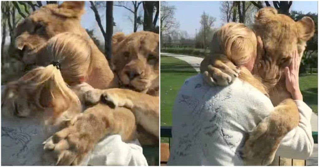 Λιοντάρια ξαναβλέπουν την γυναίκα που τα μεγάλωσε και λιώνουν από αγάπη και ευγνωμοσύνη
