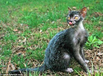 Αυτές είναι οι Lykoi cats: Μια σπάνια ράτσα γάτας με ελληνικό όνομα και συμπεριφορά σκύλου