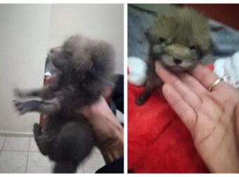Μεγάλο Πεύκο Αττικής: Βρήκαν και διέσωσαν από το δρόμο νεογέννητο αλεπουδάκι