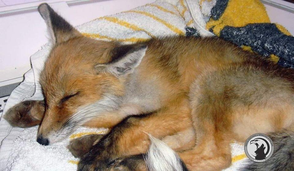 Δεν τα κατάφερε τελικά η αλεπουδίτσα που βρέθηκε χτυπημένη σε χωριό της Μεσσηνίας