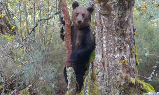 Για πρώτη φορά μετά από 150 χρόνια μια καφέ αρκούδα στη βορειοδυτική Ισπανία
