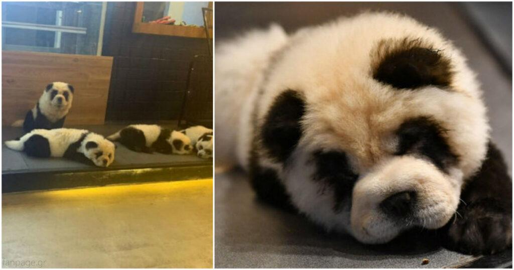 Ντροπή και αίσχος: Καφέ στην Κίνα έβαψε σκύλους ασπρόμαυρους για να μοιάζουν με πάντα
