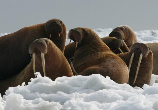 Θαλάσσιος ίππος βύθισε ρωσικό σκάφος στον Αρκτικό – Προστάτευε τα νεογνά του